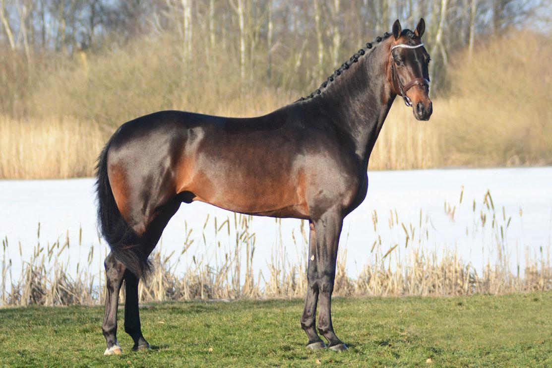 Demand 1344 SWB 168 cm e Ampere u Delight (F.2) e Don Shufro-Mowgli. Uppfödare/ägare: Per-Arne Persson. Ryttare: Yvonne Österholm. Har G2 sedan 2017.