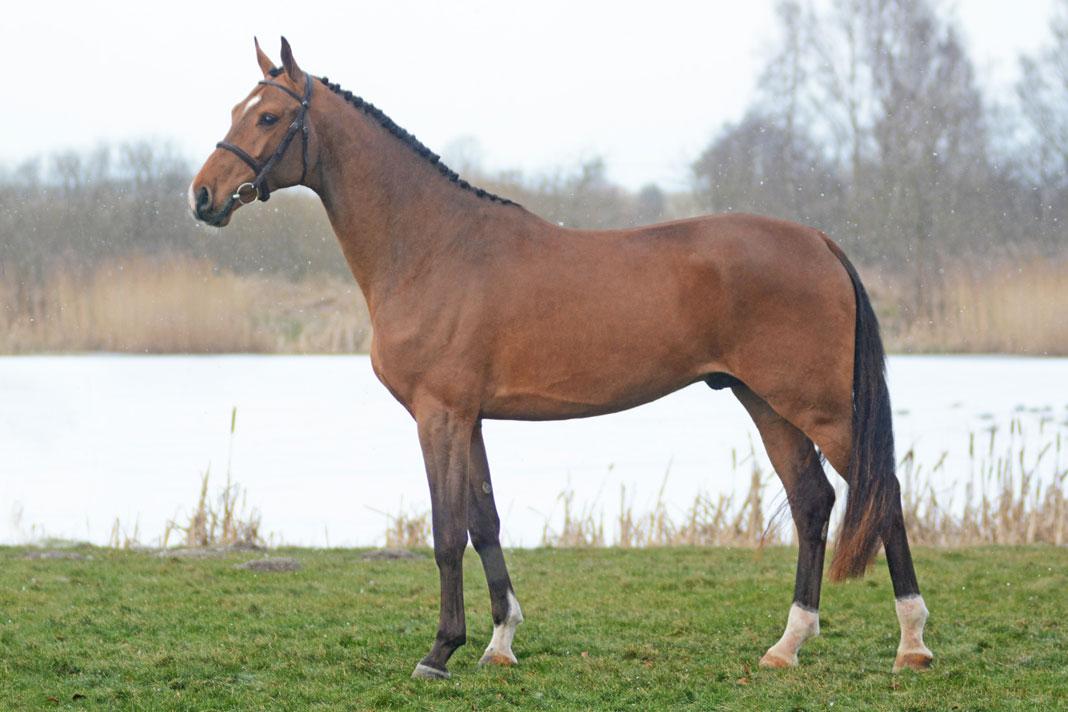 Viking Hästak SWB 169 cm e Heartbeat u Rosali Hästak e Carmargue-Fortus Hästak. Uppfödare/ägare: Hästak AB. Ryttare: Pontus Lidsell.