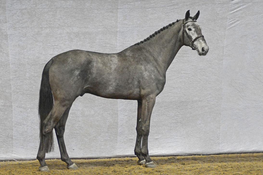 Kannando Hästak DWB 9281 DWB f-14 e Kannan u Cambodia e Carmargue-Corrado I. Uppfödare: Henrik Hansen & HH Horses. Ägare: Hästak AB.