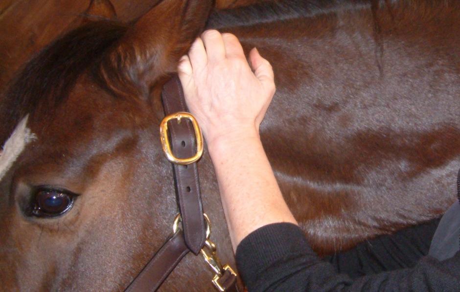 Kolla klippet: Så kan du hitta magsåret hos din häst