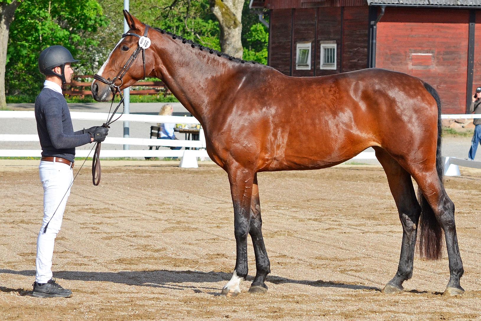 Uva Hästak (fölsto) SWB sto 171 cm e Toulouse u Qlippa Hästak e Cosmeo, uppf/äg Hästak AB. (7,5 7,5 9 8) = 80,8% diplom C