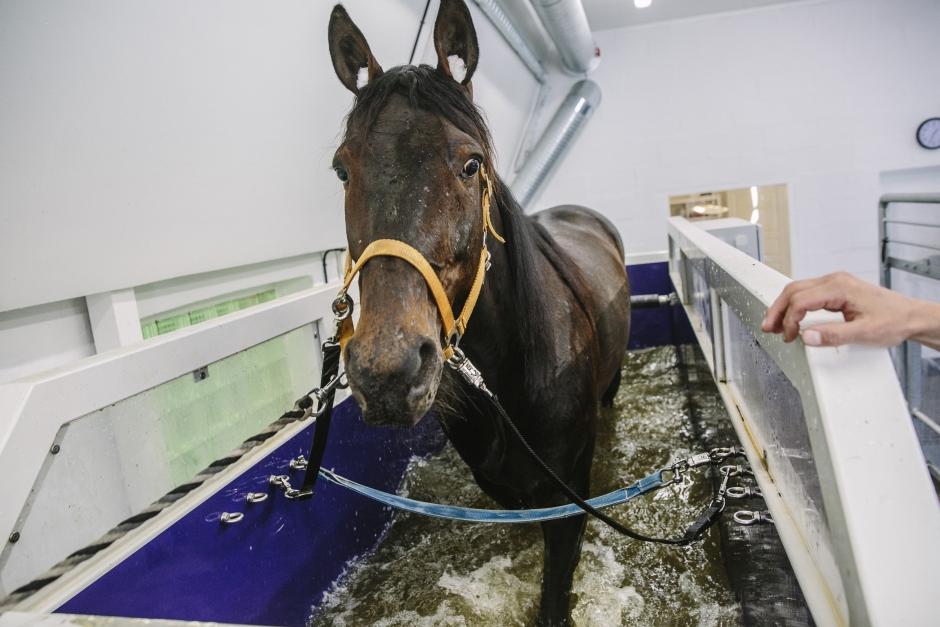 Vattentrask för hästen – populärt för både friskvård och rehab