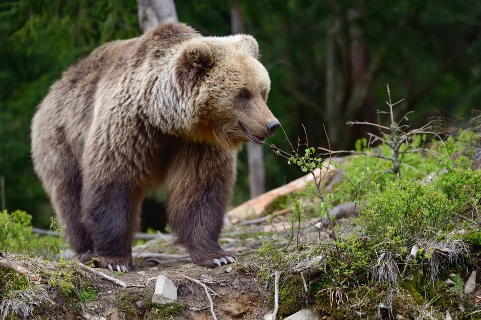Följda av björn under ridturen – ryttaren berättar