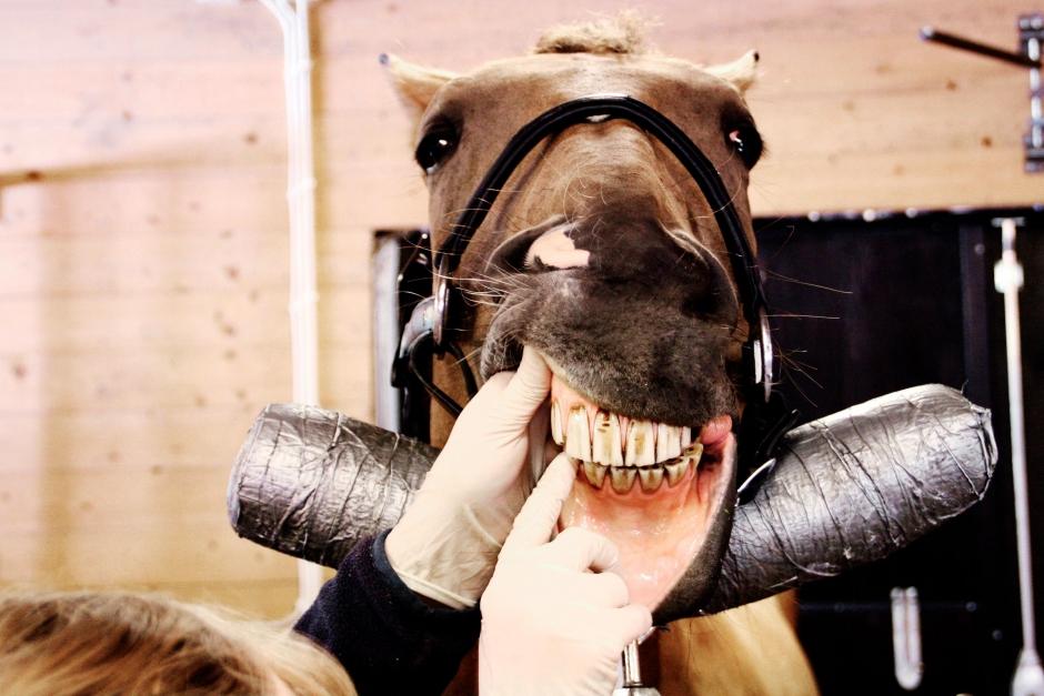Hästtandtekniker frias än en gång från djurplågeri