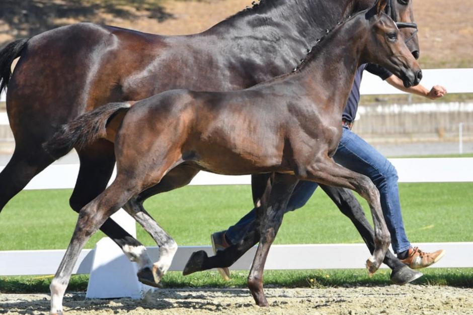 Helbror till svenska VM-hästen säljs på auktion