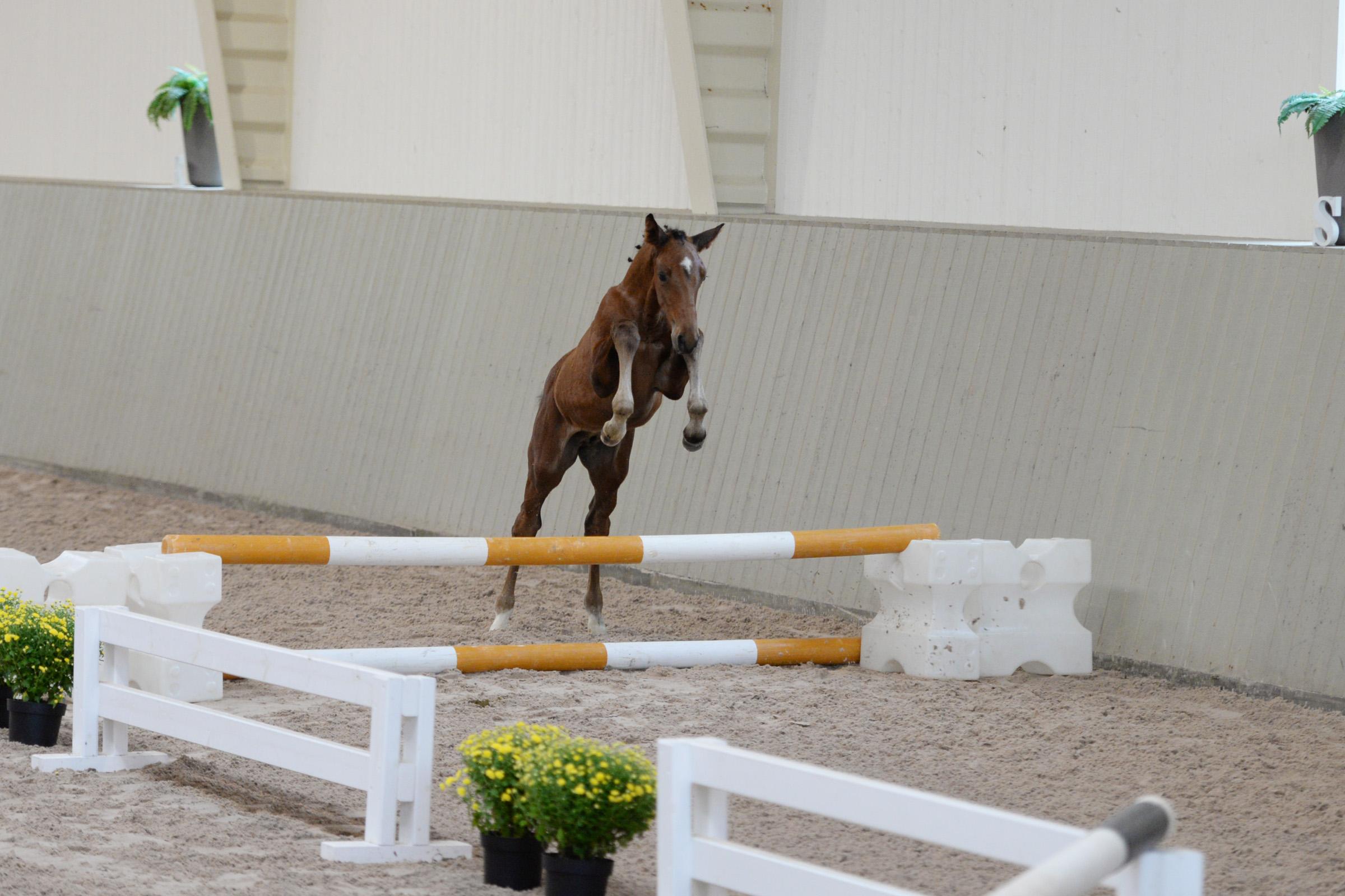 Hoppföl E Casanova Hästak