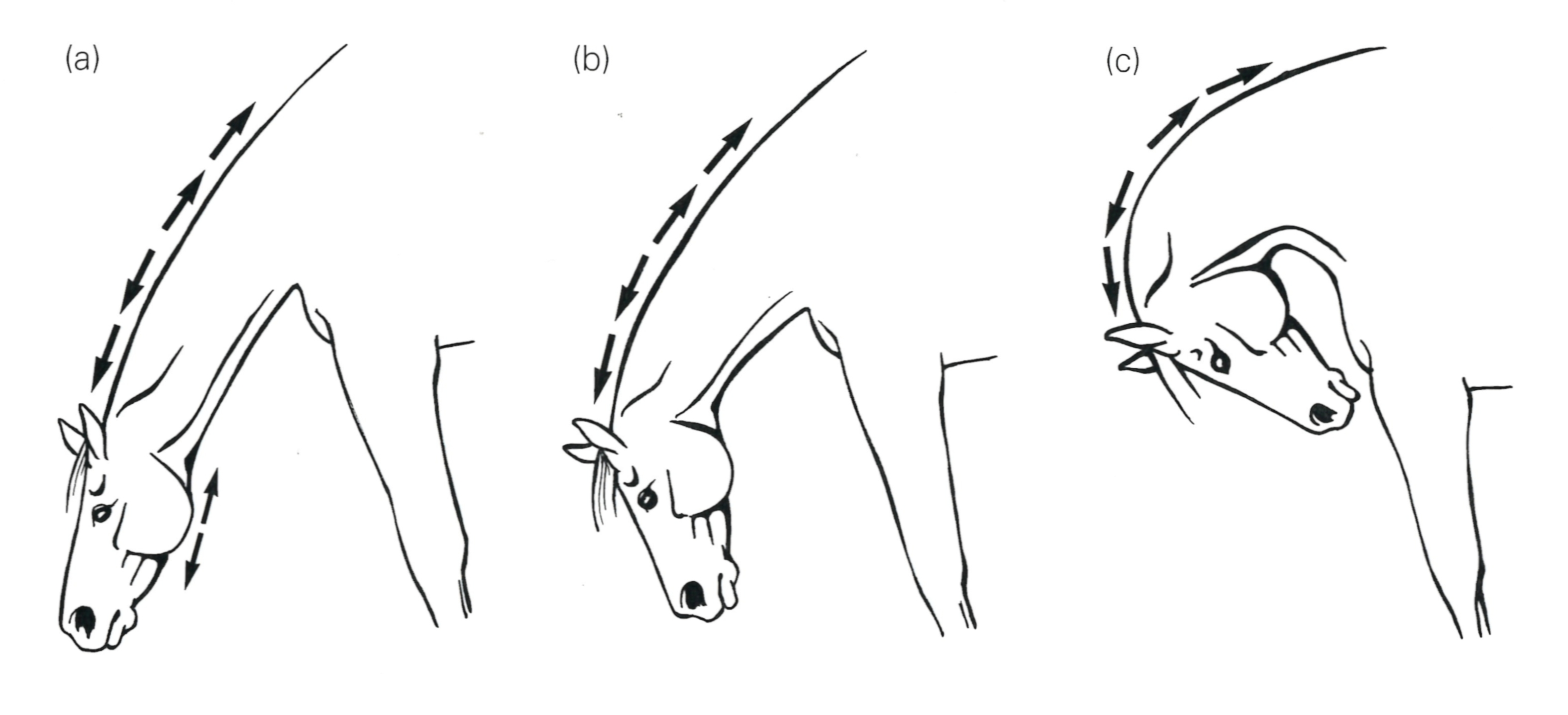 Stretch Exercises For Your Horse Figure 13