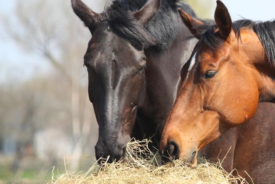 Sanningar och myter om kolik – veterinären berättar mer