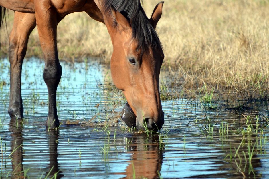 Två hästar döda efter att ha druckit förgiftat vatten