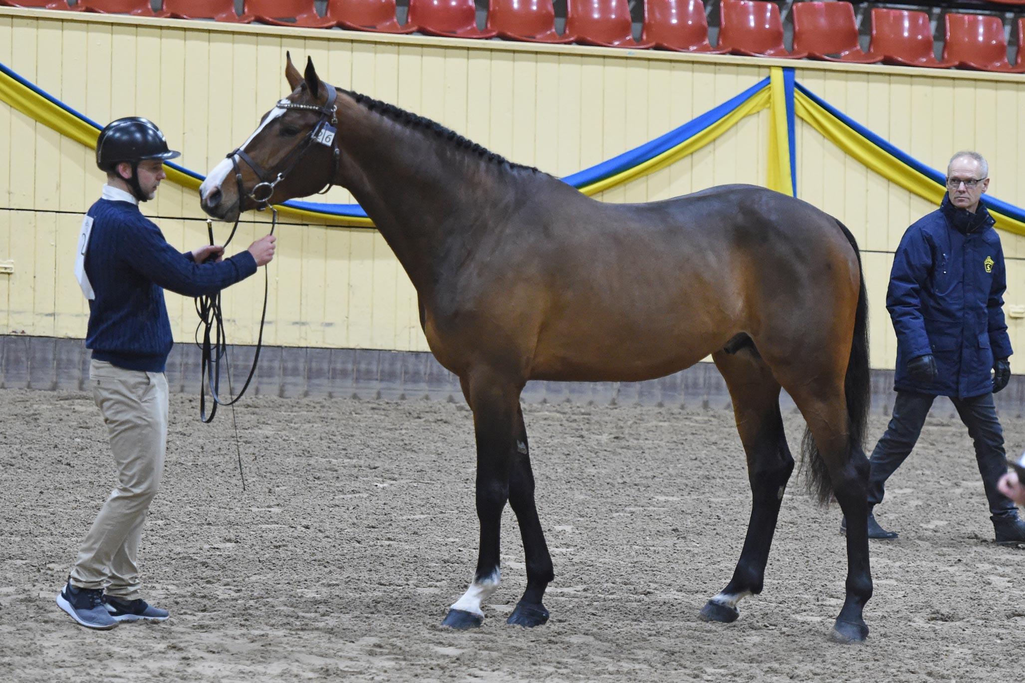 Kjaton VL KWPN 170 cm e Cardento u Balanda Z e Baloubet du Rouet-Quito de Baussy. Uppf B. van Leur. Ägare: Li Krog. Ryttare: Shane Carey.