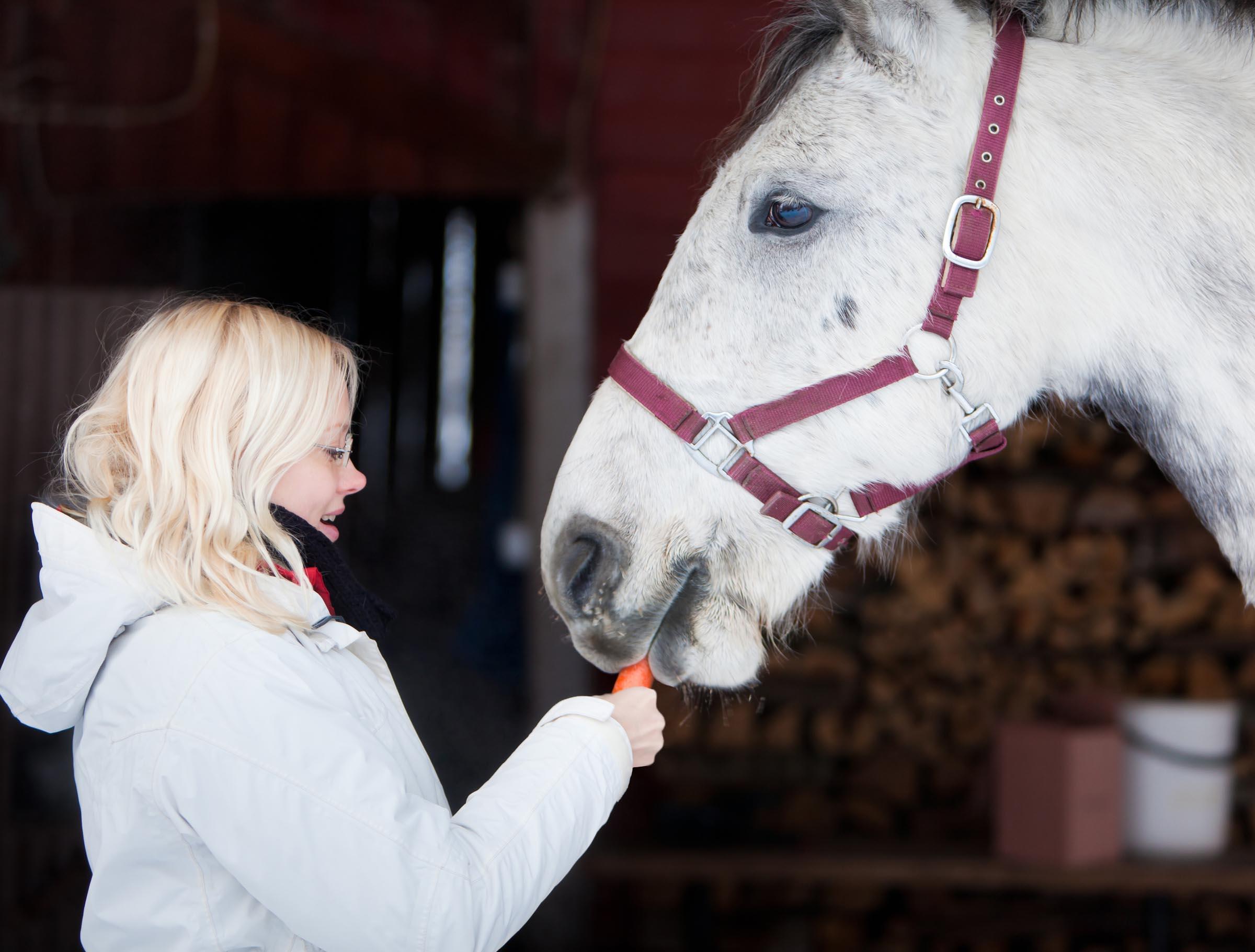Caucasian Blonde Woman Feeding Carrots To Lipizzaner Horse Stallion