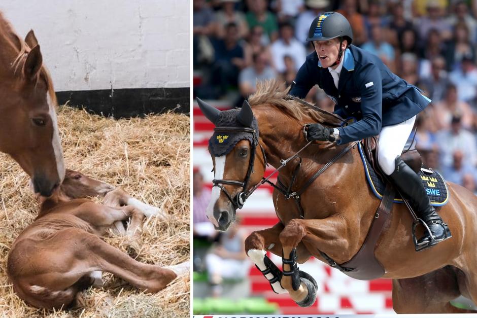 Henriks EM-bronshäst har blivit mamma