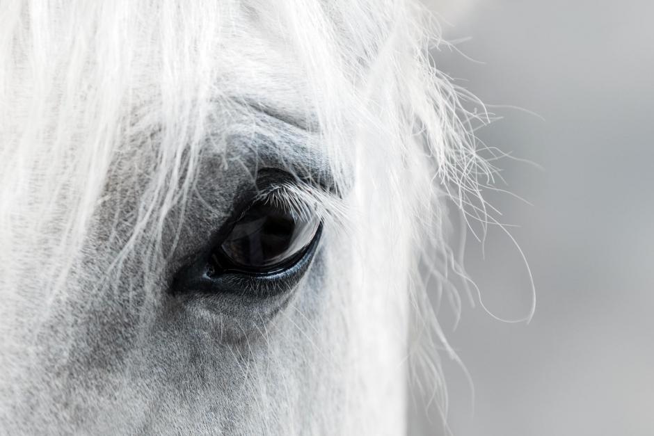 Ponny dog på tävlingsplats