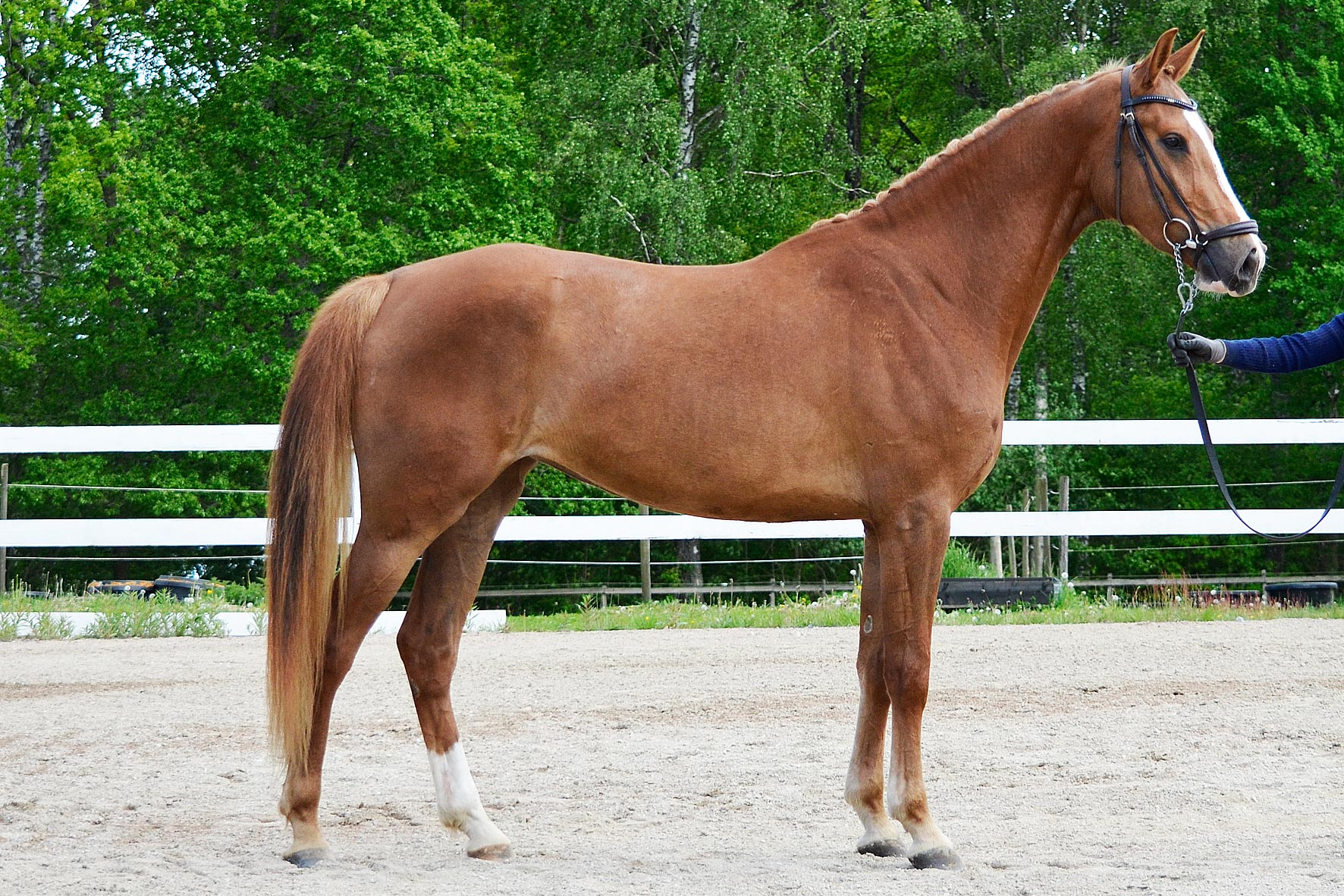 Yazi Hästak SWB sto 170 cm e Heartbeat u Indra Hästak e Cortus, uppf/äg Hästak AB. 8,5 7,5 7 8 8 8 = 78,3%, diplom
