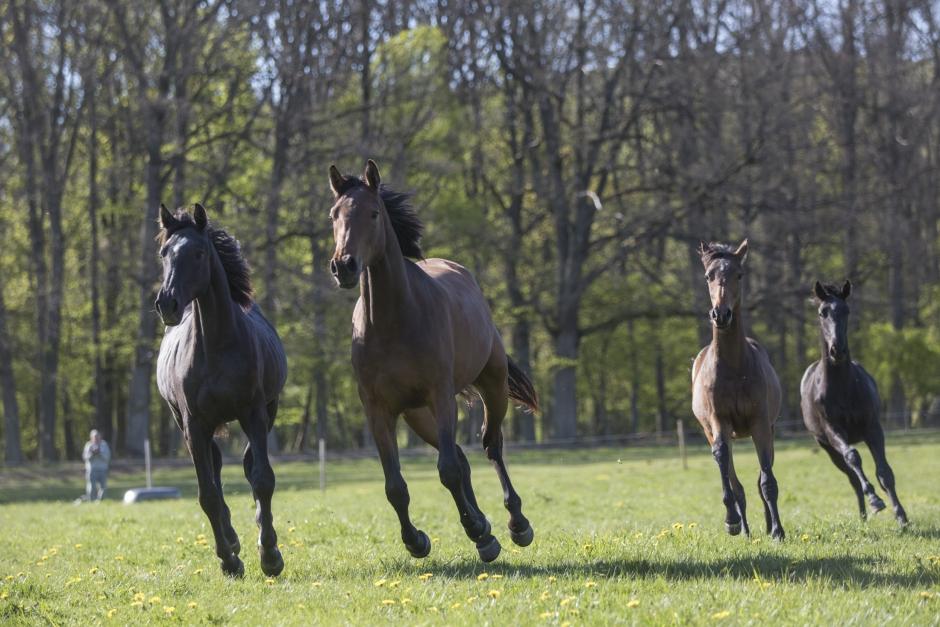 Delrapport från Brösarpsprojektet: Hästarna rör sig mer i stora hagar