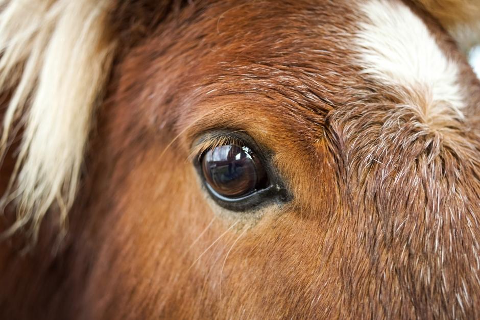 Sjuka ponnyer behandlades inte av veterinär – ägaren döms för djurplågeri