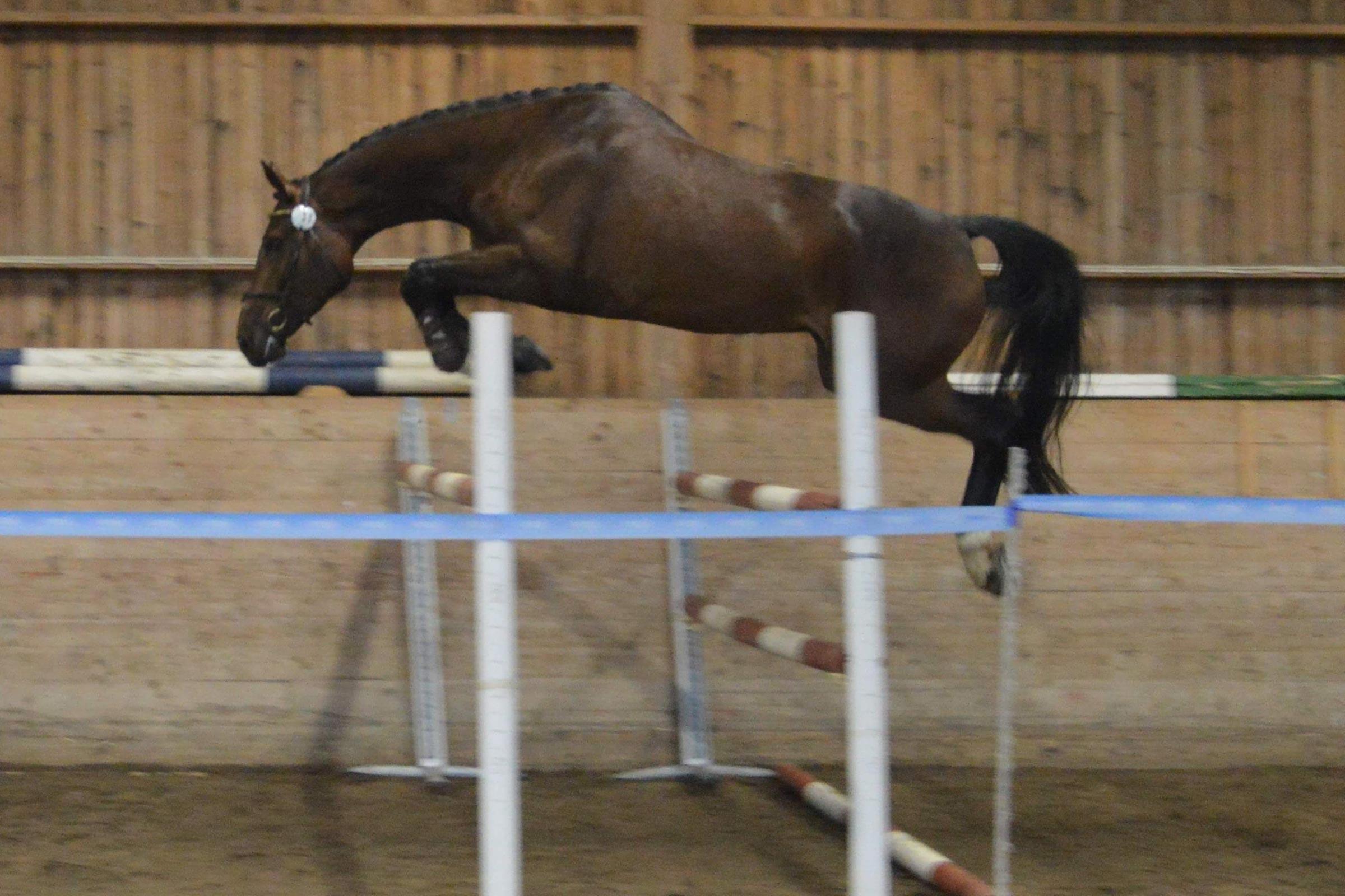 Luna Lou FS SWB sto 169 cm e Balou u Landa e Landor S, uppf/äg Frykens Sporthästar HB. (8,5 8,5) = 83%, diplom