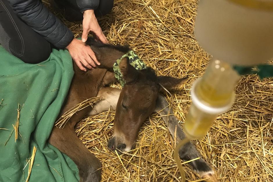 Plasma av hästblod räddar livet på föl