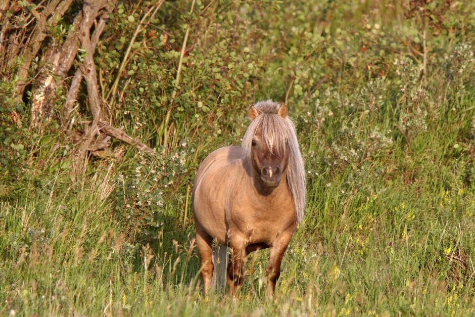 Ponny försvunnen sedan i torsdags