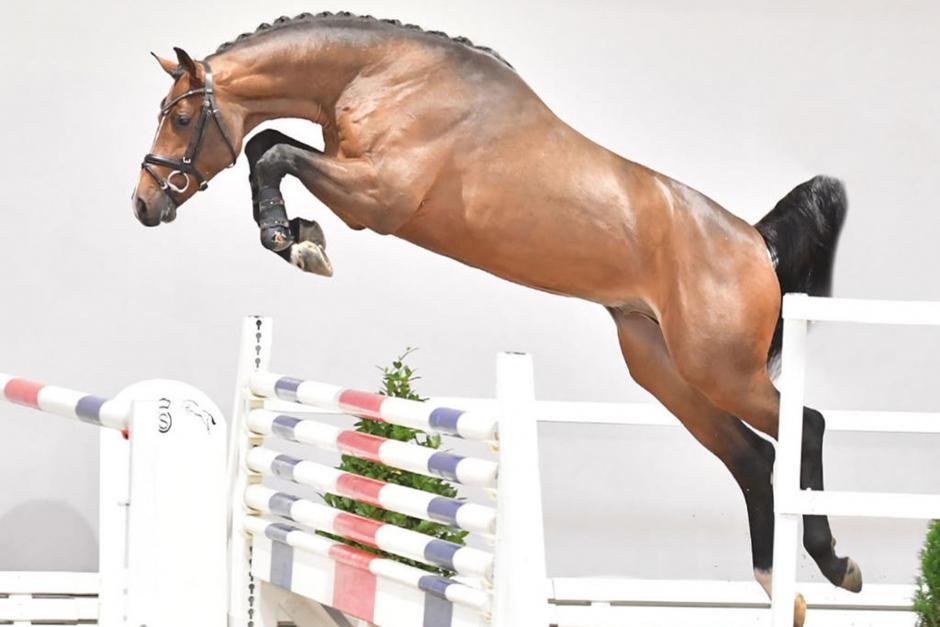 Svenskuppfödd häst premiehingst i Tyskland