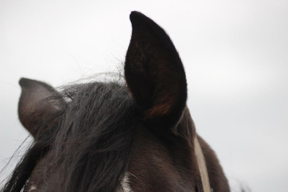 Så upptäcker du om hästen har öroninflammation
