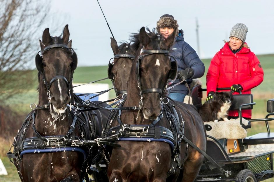 Fyrspannskusken hämtade hästar från Amishfolket i USA