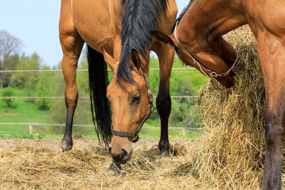 Stor ökning av magsår hos häst
