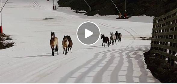 Kolla klippet: Vildponnyer gästar skidbacken
