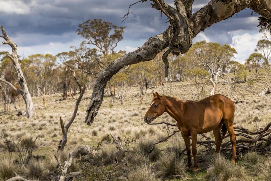 Vildhästar ska skjutas – anses vara skadedjur