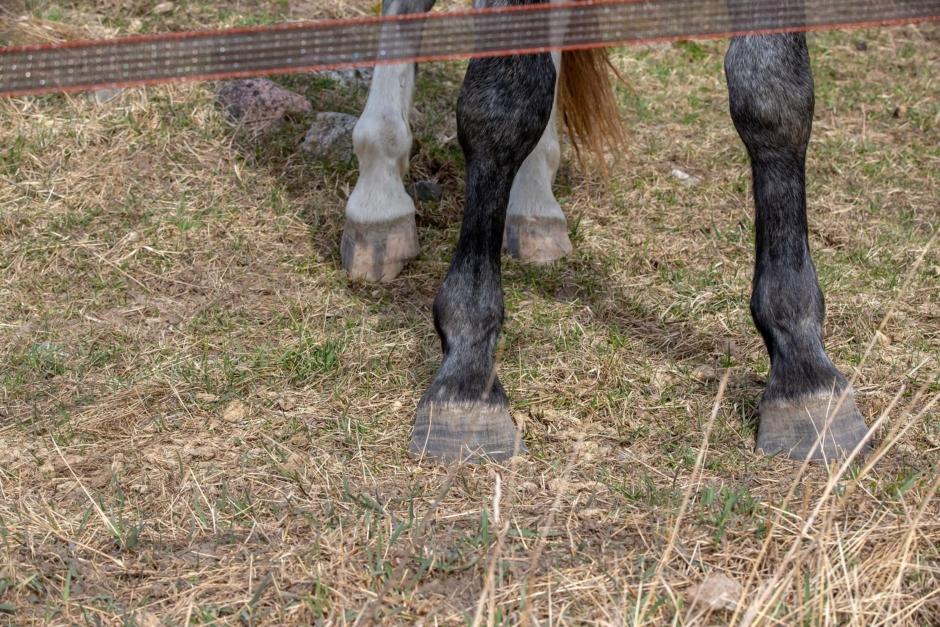 Häst skrämdes av vildsvinstråd – ryttaren skadad