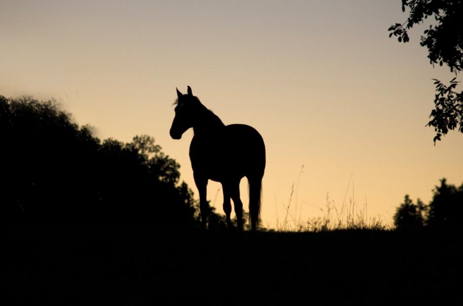 Hästar brutalt stympade i Frankrike