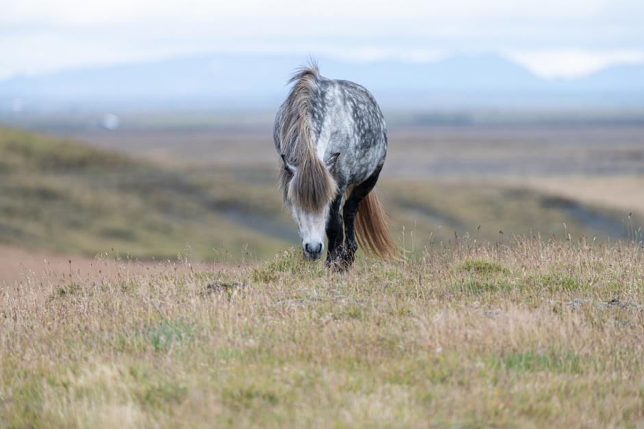 Blodston och fölkött – så går det till att få fram Islands röda guld