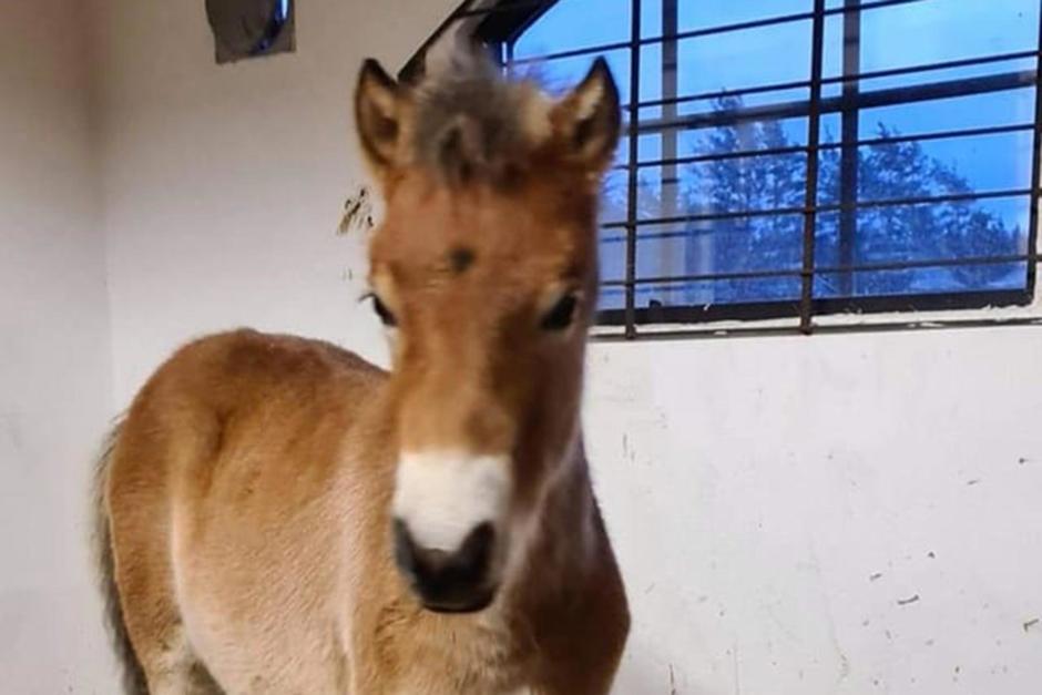 Försvunna ponnyfölet hemma igen