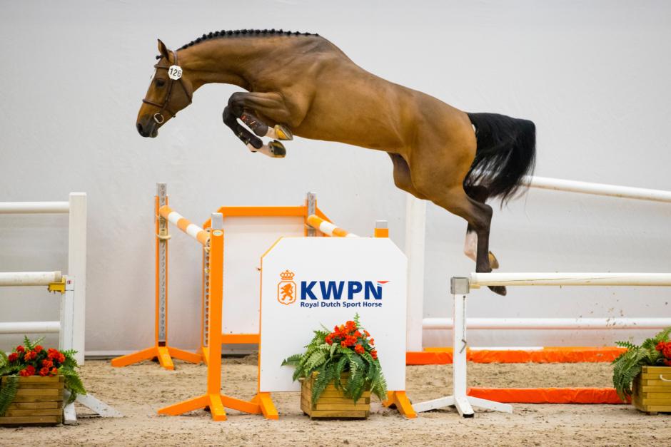 Ibolensky-söner imponerade på KWPN:s hoppnämnd