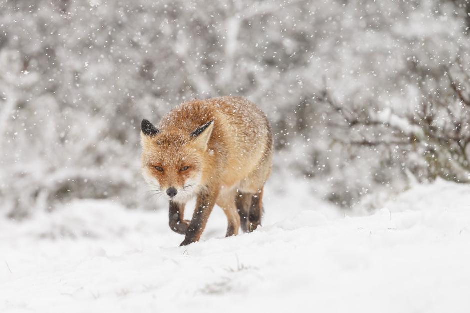 Ryttare jagades av aggressiv räv på ridturen