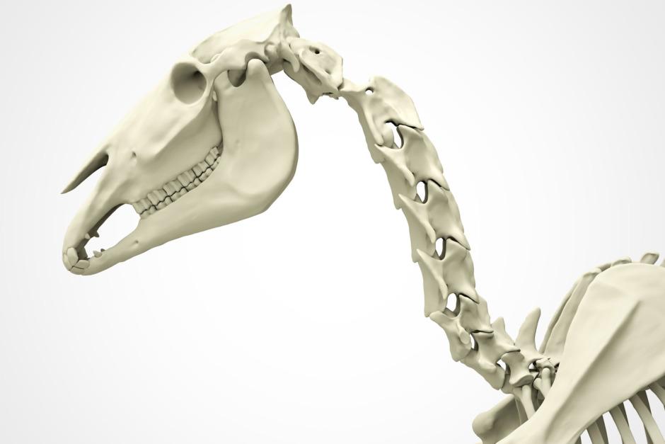 Forskningsnyheter: Problem med halskotpelaren