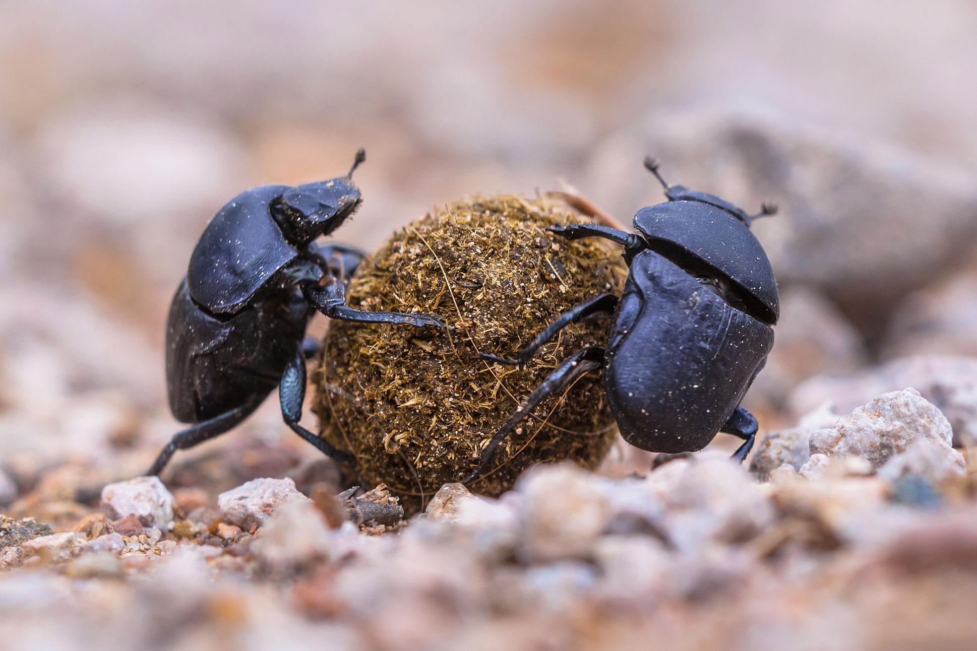 Dyngbaggar-istock-867117764