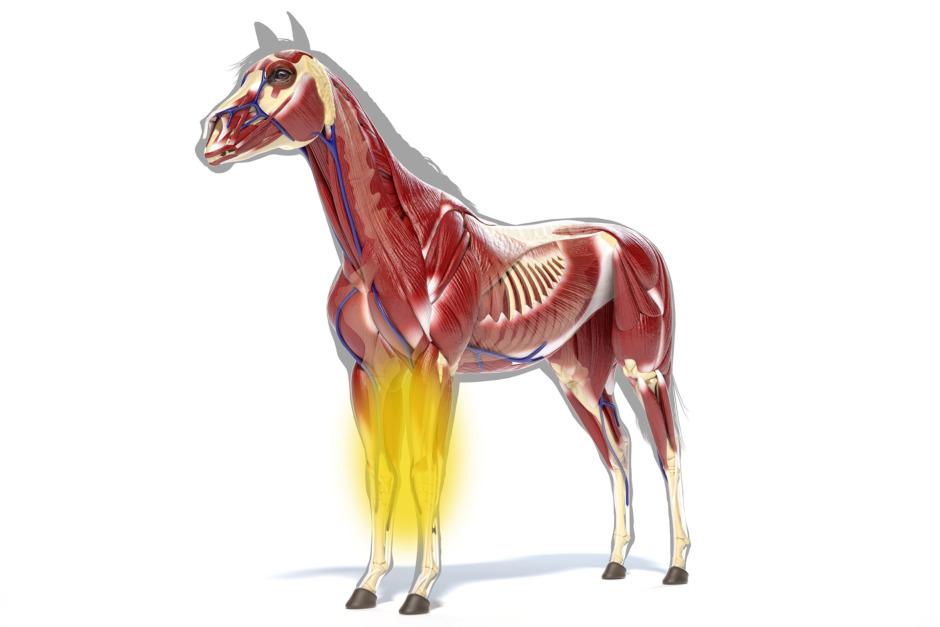 Ledinflammationer i frambenen