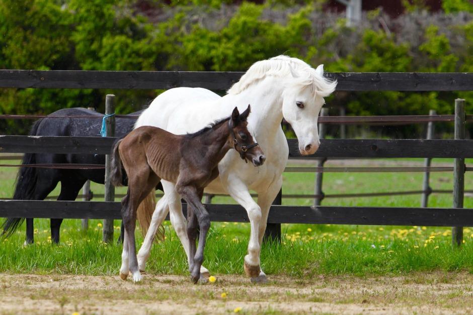 Kolla klippet: Jennifers Bratts moderlösa föl adopterad av ponny