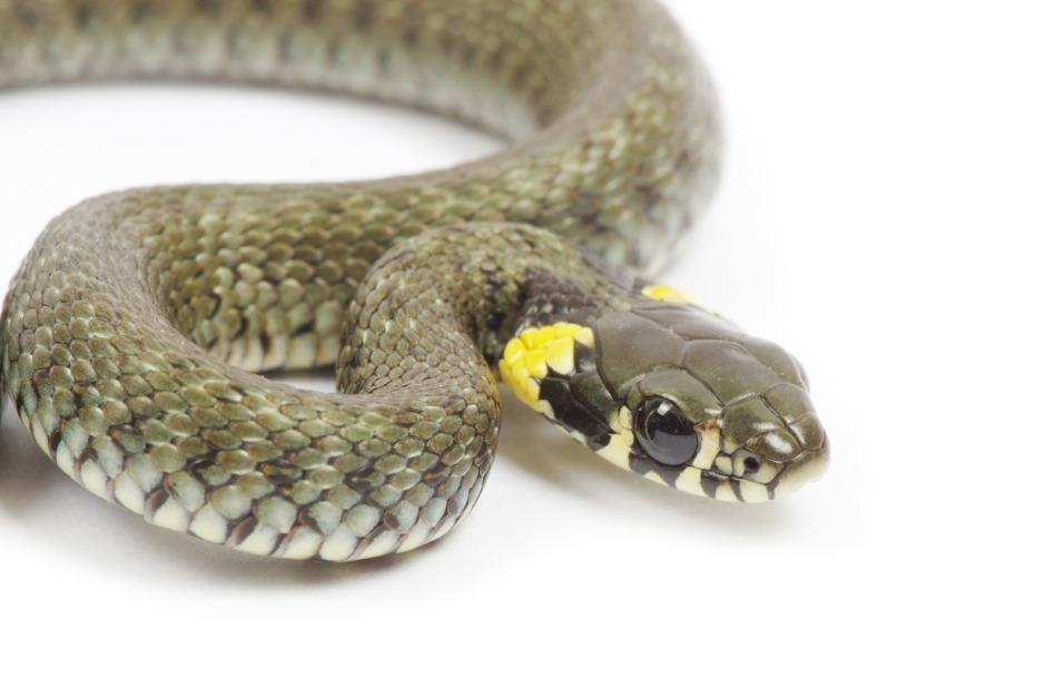 Var på hugget när ormen är nära