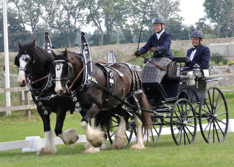 Shirehästar från Sollefteå tävlade körning på Flyinge