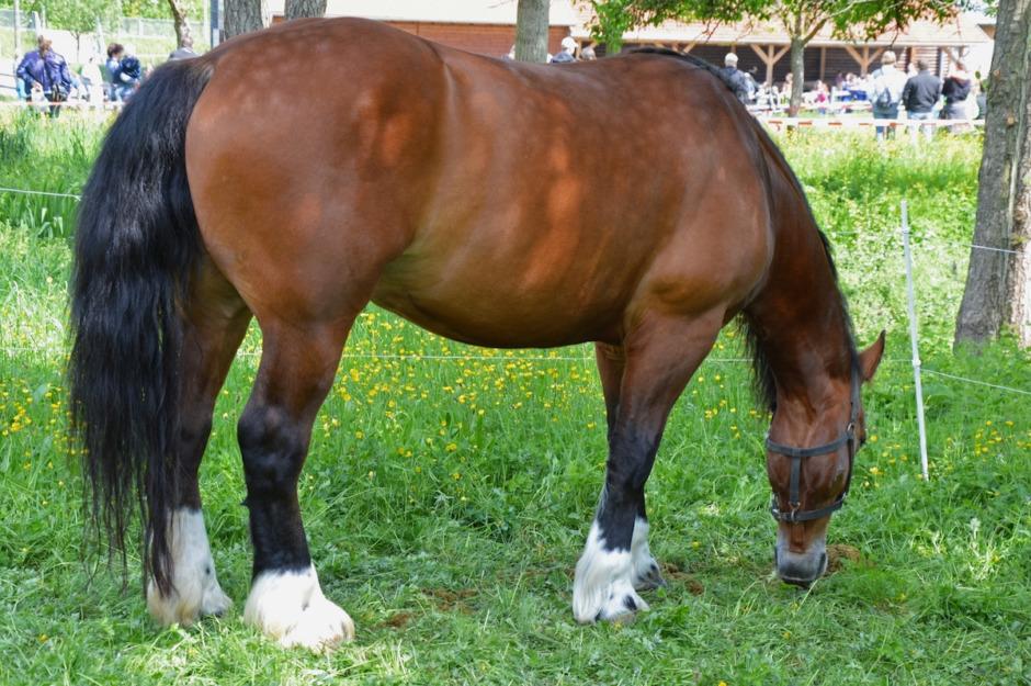 Så påverkas hästens prestation av andel kroppsfett