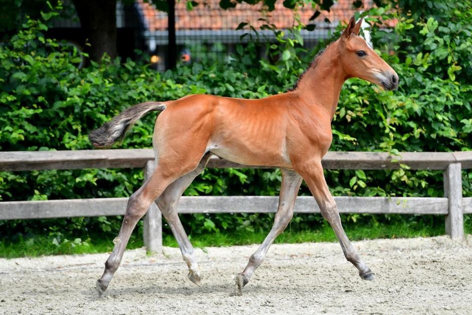 Helbror till guldhästen All In såld på auktion