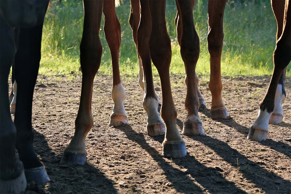 För få svenska hästar slaktas