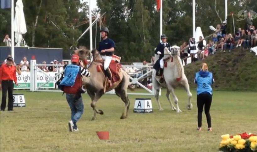 Kamelrace i Falsterbo