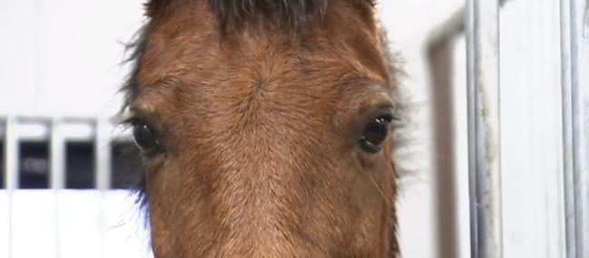 Hästar kan läsa i människors ansikte