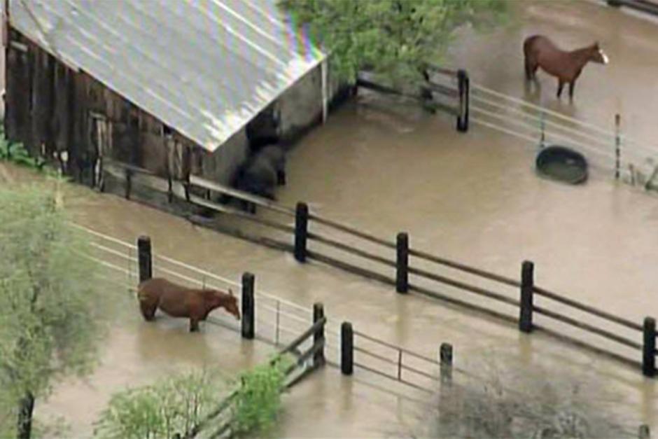 Hästar fast på översvämmad gård
