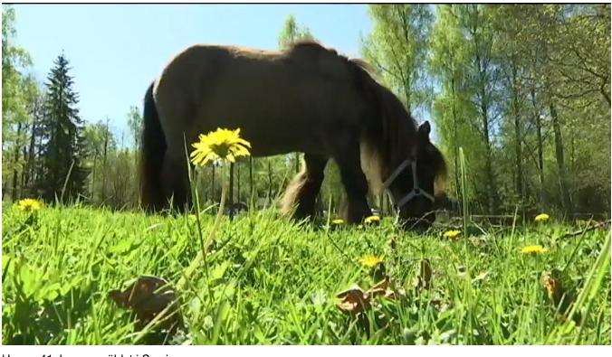 Sveriges äldsta häst har somnat in – blev 45 år