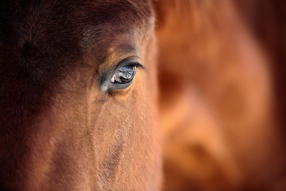 Häst avlivad – smittad av abortvirus