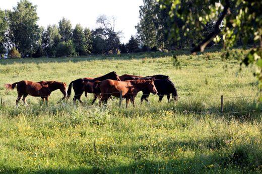 Sjukt lodjur attackerade hästar